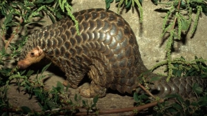 The Chinese pangolin, also known as a scaly anteater, is being threatened by poachers. Photo: Keren Su/Corbis